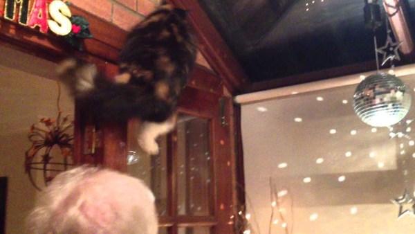 190514cat 600x338 - ミラーボールの光を追う猫、人の肩を使って高みを目指す