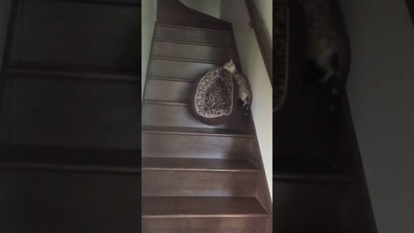 190529cat 600x338 - ヒョウ柄のベッドを2階へ運ぶヒョウ柄猫、我が子を咥えているかのように