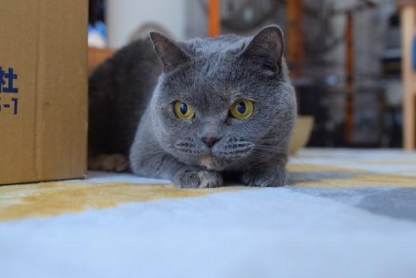 本日の美人猫vol.322