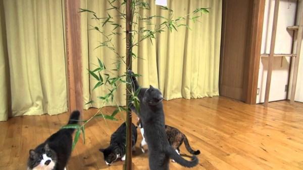 190709cat 600x338 - 大挙して七夕の笹に群がる猫、笹の葉サラサラ激しく揺らして