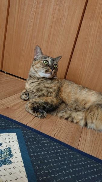 本日の美人猫vol.332