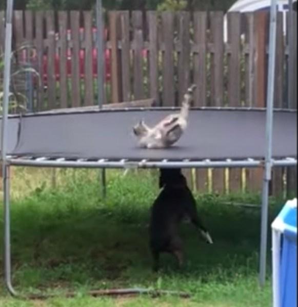 上と下とで適材適所のトランポリン、犬が弾めば猫も弾むよ