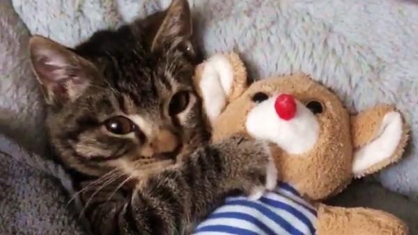 200709cat 600x338 - お隣にあの子がいないとグズる猫、テディベア抱き締め頬寄せ眠る