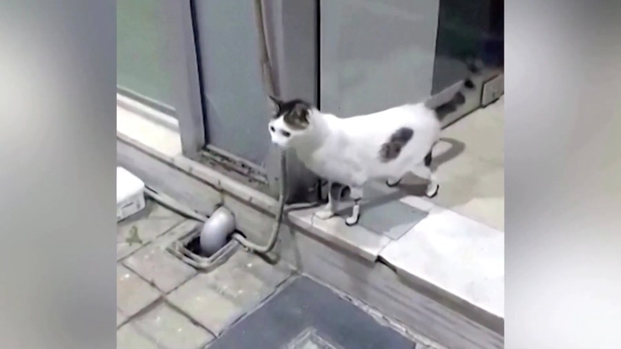 210725cat 1024x576 - 3本の脚を事故で失った猫、義足を付けたら10秒で歩きだす