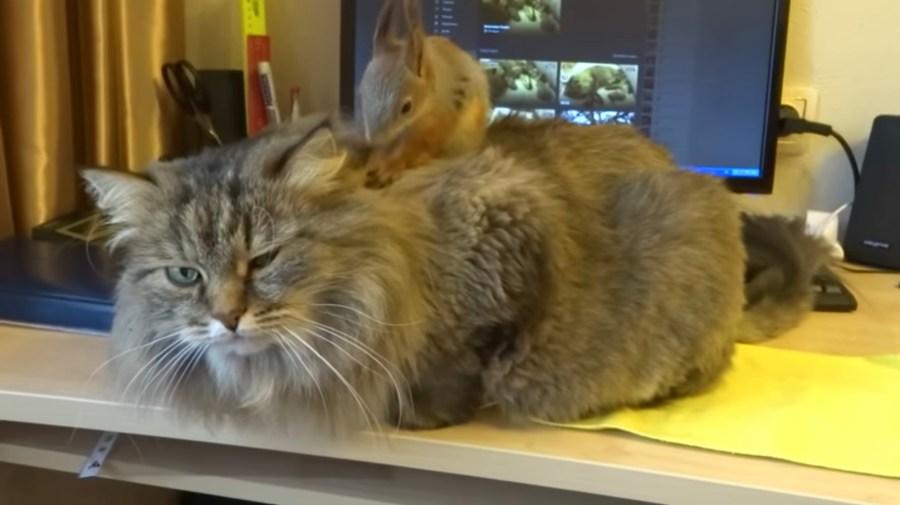 やんちゃなリスに無言で体を預ける猫、背中の上も頭の上も