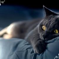 【ブルーキャット御三家】被毛がグレーの猫の種類
