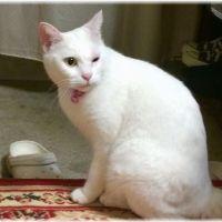 【目が開かない】猫のまぶたが腫れる4つの原因