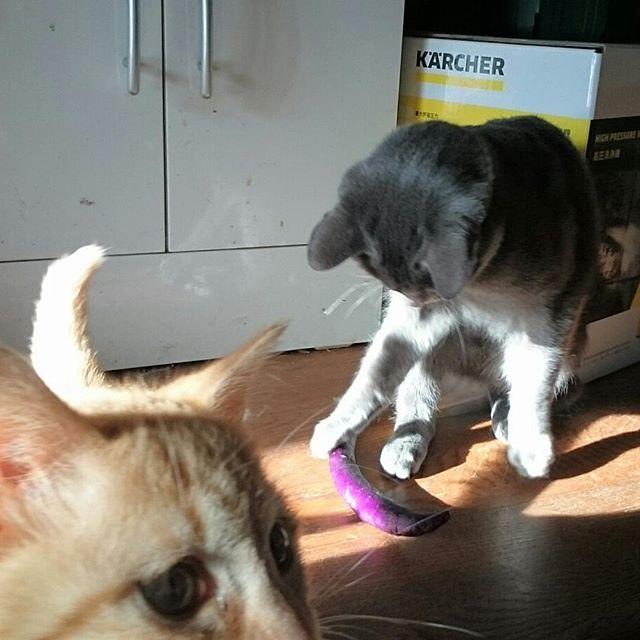 なすびと戦うニャンズ。今日の麻婆茄子が・・・ #こねこ部 #ねこ部 #ニャンスタグラム #にゃんすたぐらむ #ねこ #こねこ #にゃんこ #しまねこ #茶トラ #白猫 #cat #kitty #catstagram #petstagram #instacat #meow #catoftheday #ilovemycat #catlove #catlover