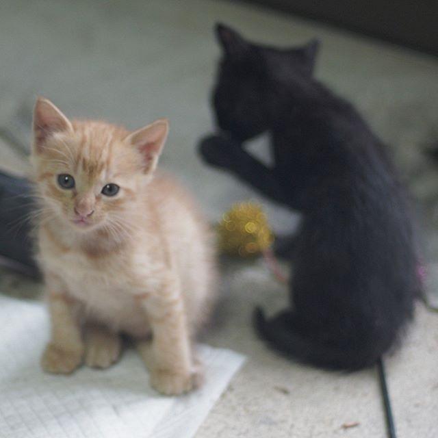 生後一ヶ月のシャビちゃんとくろいひと。今でも仲良し兄弟。 #こねこ部 #ねこ部 #ニャンスタグラム #にゃんすたぐらむ #ねこ #こねこ #にゃんこ #しまねこ #黒猫 #茶トラ#cat #kitty #catstagram #petstagram #instacat #meow #catoftheday #ilovemycat #catlove #catlover #オールドレンズ