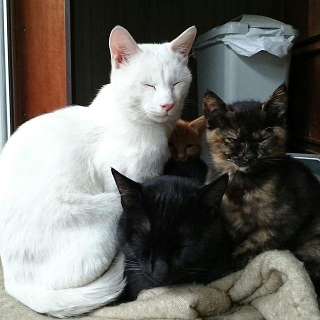 チームごま塩&こどもたち。もちろん寝正月だよ。 #こねこ部 #ねこ部 #ニャンスタグラム #にゃんすたぐらむ #ねこ #こねこ #にゃんこ #しまねこ #黒猫  #茶トラ #白猫 #サビ猫 #cat #kitty #catstagram #petstagram #instacat #meow #catoftheday #ilovemycat #catlove #catlover