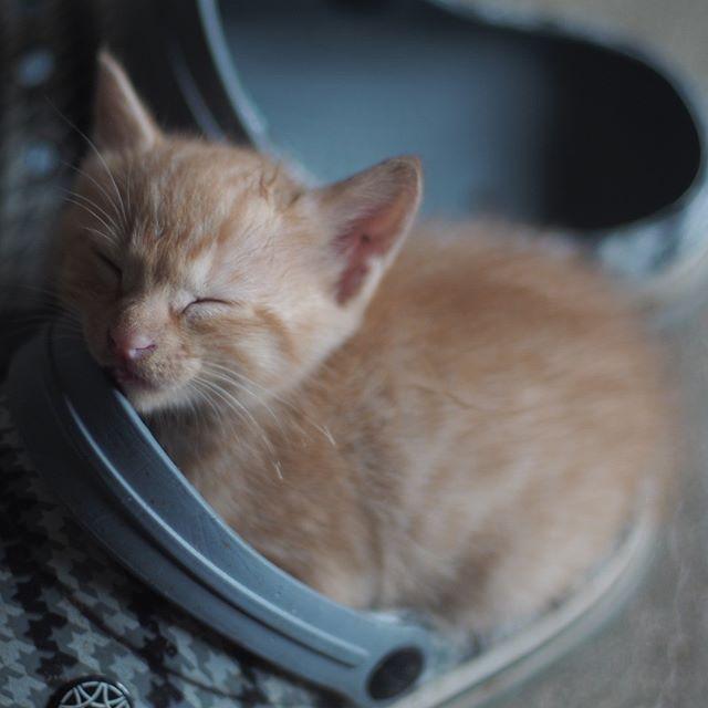 ふわふわだったシャビちゃん #こねこ部 #ねこ部 #ニャンスタグラム #にゃんすたぐらむ #ねこ #こねこ #にゃんこ #しまねこ #茶トラ #cat #kitty #catstagram #petstagram #instacat #meow #catoftheday #ilovemycat #catlove #catlover