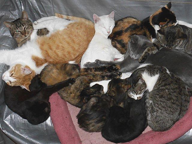 チーム5月生まれ&チビ2人、合計11人の猫団子 #こねこ部 #ねこ部 #ニャンスタグラム #にゃんすたぐらむ #ねこ #こねこ #にゃんこ #しまねこ #黒猫 #キジトラ #三毛猫 #茶トラ #白猫 #サビ猫 #cat #kitty #catstagram #petstagram #instacat #meow #catoftheday #ilovemycat #catlove #catlover