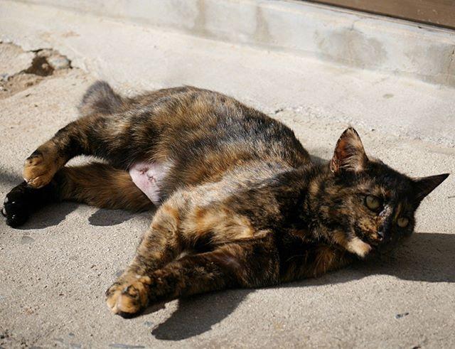 お腹の避妊手術跡が生々しいサビちびちゃん。この子は噛み付いたサビちゃんじゃなくて妹なの。 #ねこ部 #ニャンスタグラム #にゃんすたぐらむ #ねこ #ネコ #ネコ部  #ネコ好き  #ネコスタグラム  #ネコのいる生活 #にゃんこ #しまねこ #サビ猫 #cat #catstagram #petstagram #instacat #meow #catoftheday #ilovemycat #catlove #catlover99999 #고양이 #고냥이 #냥이 #避妊手術 #避妊手術後