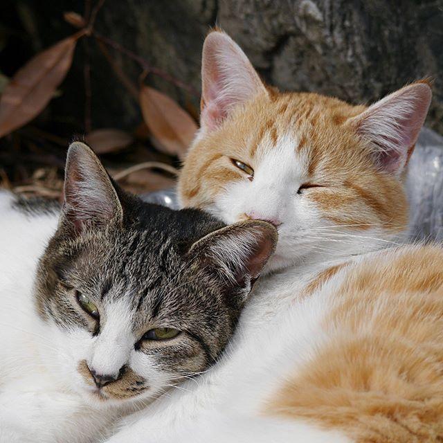 また雰囲気出してるまぶちゃん(兄)とさばちゃん(妹) #こねこ部 #こねこ #kitty #ねこ部 #ニャンスタグラム #にゃんすたぐらむ #ねこ #ネコ #ネコ部  #ネコ好き  #ネコスタグラム  #ネコのいる生活 #にゃんこ #しまねこ #茶白 #さばしろ #茶白猫 #cat #catstagram #petstagram #instacat #meow #catoftheday #ilovemycat #catlove #catlover99999 #고양이 #고냥이 #냥이