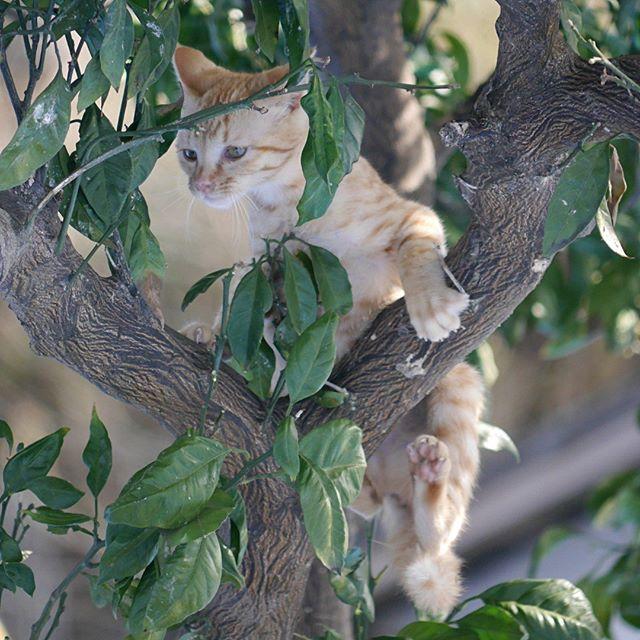 みかんの木に上る茶子ちゃん。実は小鳥を狙ってるの。 #こねこ部 #こねこ #kitty #ねこ部 #ニャンスタグラム #にゃんすたぐらむ #ねこ #ネコ #ネコ部  #ネコ好き  #ネコスタグラム  #ネコのいる生活 #にゃんこ #しまねこ #茶トラ #cat #catstagram #petstagram #instacat #meow #catoftheday #ilovemycat #catlove #catlover99999 #고양이 #고냥이 #냥이