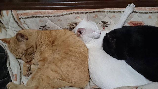チームみたらしゴマ団子。シャビちゃんとくろいひとは、いつもベッドで一緒に寝てるよ。 #こねこ部 #こねこ #kitty #ねこ部 #ニャンスタグラム #にゃんすたぐらむ #ねこ #ネコ #ネコ部  #ネコ好き  #ネコスタグラム  #ネコのいる生活 #にゃんこ #しまねこ #黒猫 #茶トラ #白猫 #cat #catstagram #petstagram #instacat #meow #catoftheday #ilovemycat #catlove #catlover99999 #고양이 #고냥이 #냥이