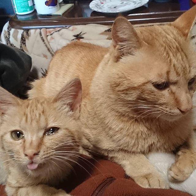 執事のお腹の上でくつろぐチーム茶とら。シャビちゃんは茶子ちゃんの叔父さんなの。 #こねこ部 #こねこ #kitty #ねこ部 #ニャンスタグラム #にゃんすたぐらむ #ねこ #ネコ #ネコ部  #ネコ好き  #ネコスタグラム  #ネコのいる生活 #にゃんこ #しまねこ #茶トラ #cat #catstagram #petstagram #instacat #meow #catoftheday #ilovemycat #catlove #catlover99999 #고양이 #고냥이 #냥이