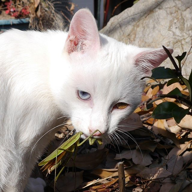 悪い顔のアーリオ。口にはカマキリが!ネコっと一撃で仕留めずに結構な時間いたぶるんですよね~。だからこのときも甘噛してるだけ。うちの庭ではよく見る光景です。 #こねこ部 #こねこ #kitty #ねこ部 #ニャンスタグラム #にゃんすたぐらむ #ねこ #ネコ #ネコ部  #ネコ好き  #ネコスタグラム  #ネコのいる生活 #にゃんこ #しまねこ #白猫 #cat #catstagram #petstagram #instacat #meow #catoftheday #ilovemycat #catlove #고양이 #고냥이 #냥이