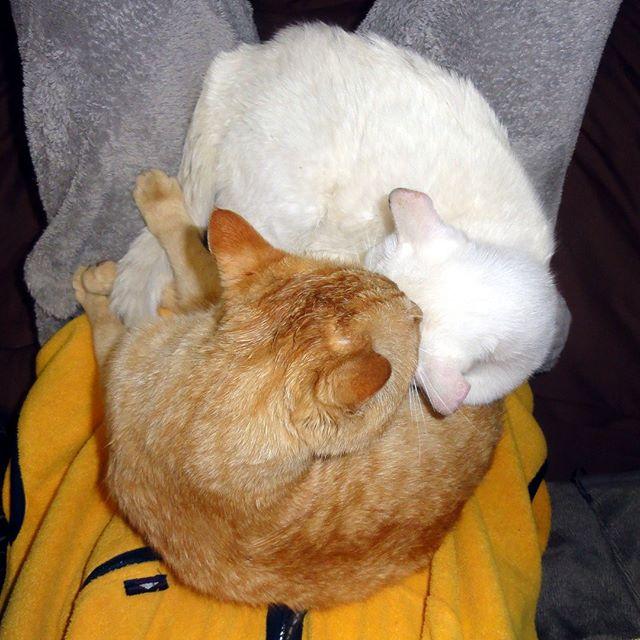 チーム・カレーライス(シャビちゃんとアーリオ)がお腹の上に。さすがに2匹乗ると重い!この子達は執事大好きっ子なの。 #ねこ部 #ニャンスタグラム #にゃんすたぐらむ #ねこ #ネコ #ネコ部  #ネコ好き  #ネコスタグラム  #ネコのいる生活 #にゃんこ #しまねこ #茶トラ #白猫 #cat #catstagram #petstagram #instacat #meow #catoftheday #ilovemycat #catlove #고양이 #고냥이 #냥이 #江田島