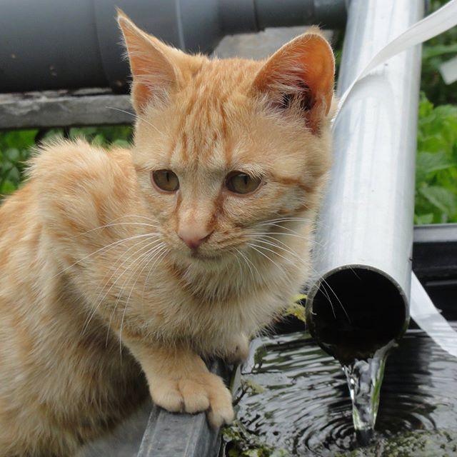 水分補給終了後の茶子ちゃん。天然水大好き少女です! #こねこ部 #こねこ #kitty #ねこ部 #ニャンスタグラム #にゃんすたぐらむ #ねこ #ネコ #ネコ部  #ネコ好き  #ネコスタグラム  #ネコのいる生活 #にゃんこ #しまねこ #茶トラ #cat #catstagram #petstagram #instacat #meow #catoftheday #ilovemycat #catlove #고양이 #고냥이 #냥이 #江田島