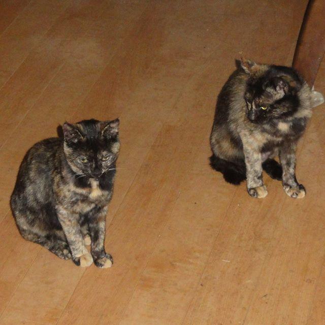 チーム・サビサビのちょこざいさん(左)とさびちびちゃん。インスタ映えはしないけどカワイイ女の子たちです。  #ねこ部 #ニャンスタグラム #にゃんすたぐらむ #ねこ #ネコ #ネコ部  #ネコ好き  #ネコスタグラム  #ネコのいる生活 #にゃんこ #しまねこ #サビ猫 #cat #catstagram #petstagram #instacat #meow #catoftheday #ilovemycat #catlove #고양이 #고냥이 #냥이