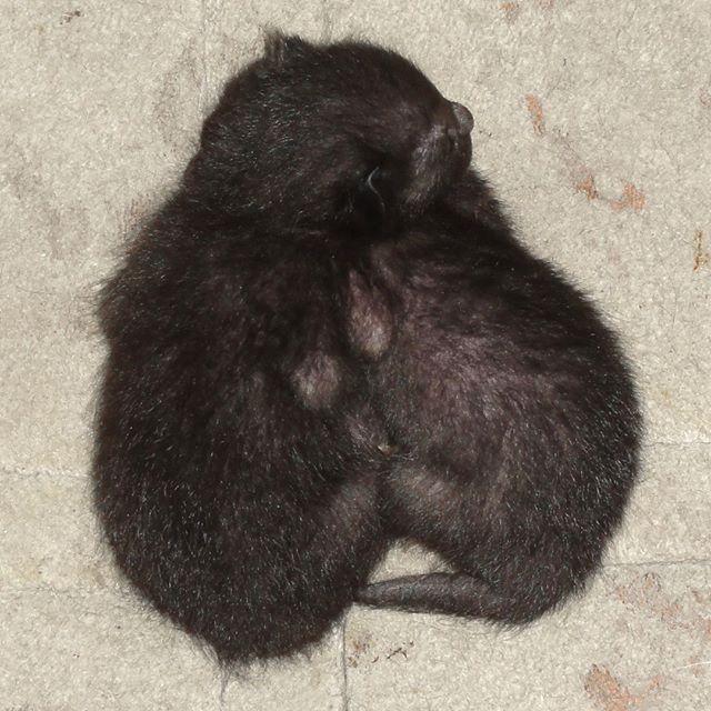 生後4日、モフモフしてきたよ! 今日もよく鳴いてる。 #こねこ部 #こねこ #kitty #ねこ部 #ニャンスタグラム #にゃんすたぐらむ #ねこ #ネコ #ネコ部  #ネコ好き  #ネコスタグラム  #ネコのいる生活 #にゃんこ #しまねこ #黒猫 #cat #catstagram #petstagram #instacat #meow #catoftheday #ilovemycat #catlove #고양이 #고냥이 #냥이
