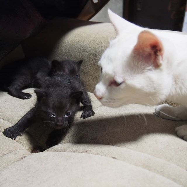 アーリオ伯父さんとの初めての遭遇。アーリオはそんなに関心がないみたい。#こねこ部 #こねこ #kitty #ねこ部 #ニャンスタグラム #にゃんすたぐらむ #ねこ #ネコ #ネコ部  #ネコ好き  #ネコスタグラム  #ネコのいる生活 #にゃんこ #しまねこ #黒猫 #白猫 #cat #catstagram #petstagram #instacat #meow #catoftheday #ilovemycat #catlove #고양이 #고냥이 #냥이
