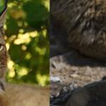 イヌの祖先の絶滅にネコが関与か