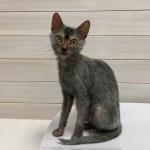 ウルフキャットと呼ばれる猫 ライコイ Lykoi