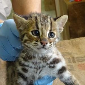 【福岡市動物園の秘蔵っ子】ツシマヤマネコの三匹の子猫、絶賛「激カワ」成長中♪