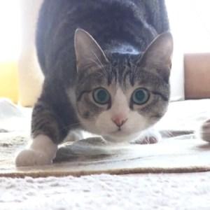 飛びかかり直前!猫ちゃんのお尻フリフリが可愛すぎてたまらない!
