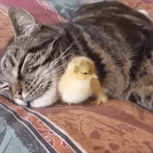 猫とひよこのコンビ♪お昼寝する猫に甘えるひよこ…どっちも可愛すぎ♡