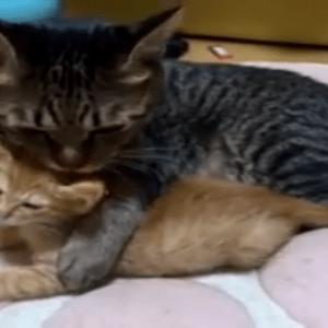 可愛い子猫を抱っこする親猫。どっちもカワ(・∀・)イイ!!