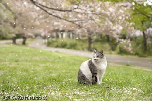 サバ白猫 野良猫 桜吹雪