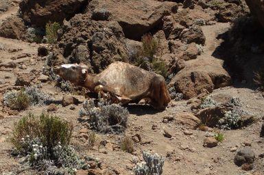 Mumifizierter Büffel auf etwa 4300m