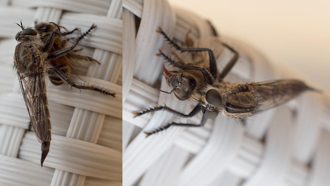Foto von fliegendem Insekt, das eine Biene frisst.