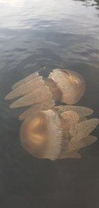 Jellyfish in Nelligen
