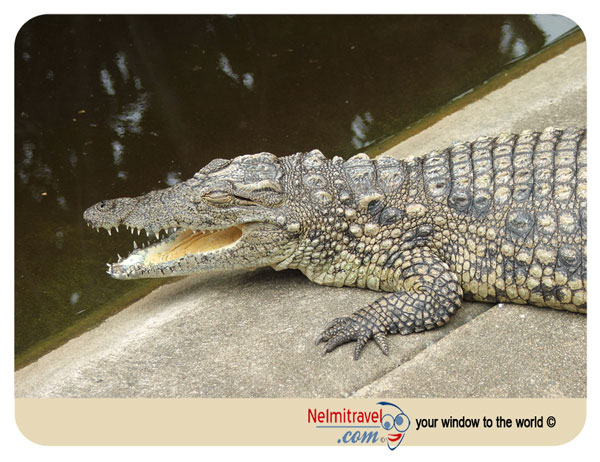 Crocodile Farm,Breeding farm for crocodiles,South Africa Safari,Safari South Africa,National Parks in South Africa;