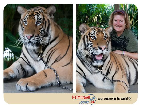 royal bengal tiger; bengal tiger; tiger zoo koh samui;koh samui tiger zoo; koh samui attractions