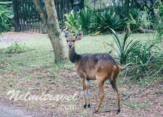 Nelmitravel;Bushbuck; Bush buck; Kéwel Bushbuck; Antelope; Knysna; South Africa