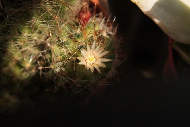 Mammillaria Zeilmanniana