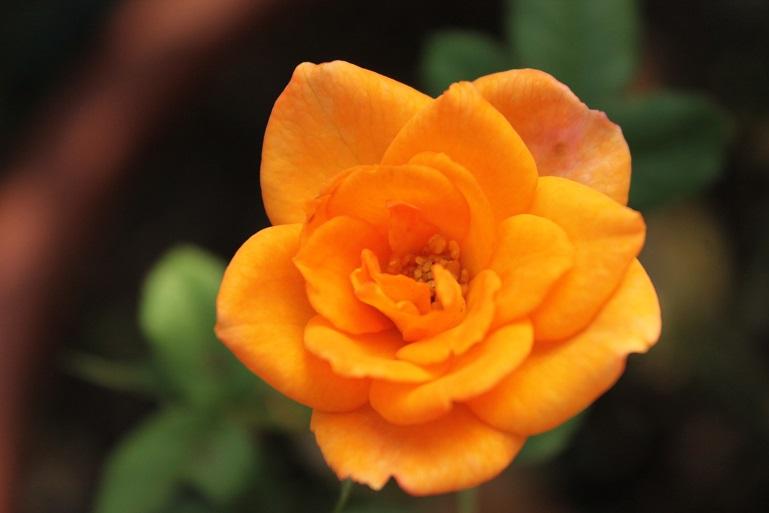 rosa mini