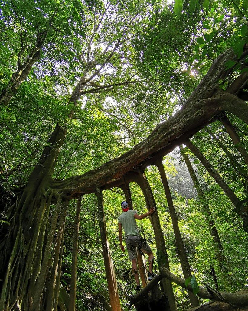 Ficus Tree Bridge, Monteverde