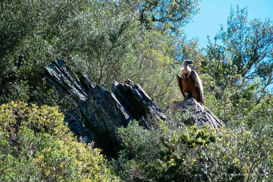 A vulture sits on a rock in the proximity of Malpica do Tejo, in the Tejo Internacional Natural Park, close to the Spain border, Malpica do Tejo, 2016