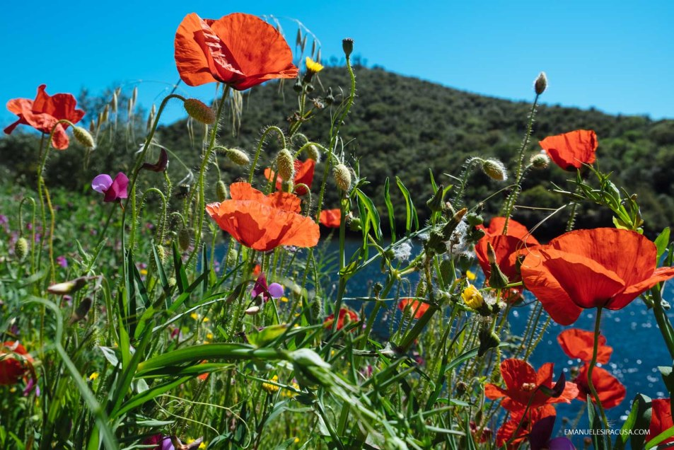 Red poppies on the Portuguese bank of the Tejo River in the Tejo Internacional Nature Park, Malpica do Tejo, 2016