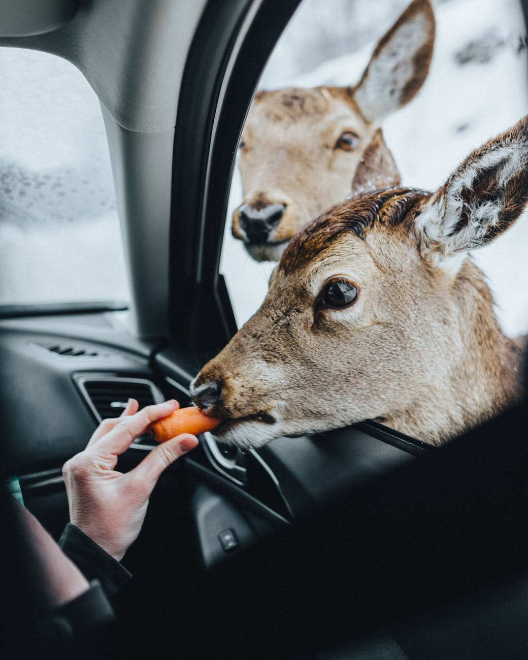 person feeding brown deer with carrot