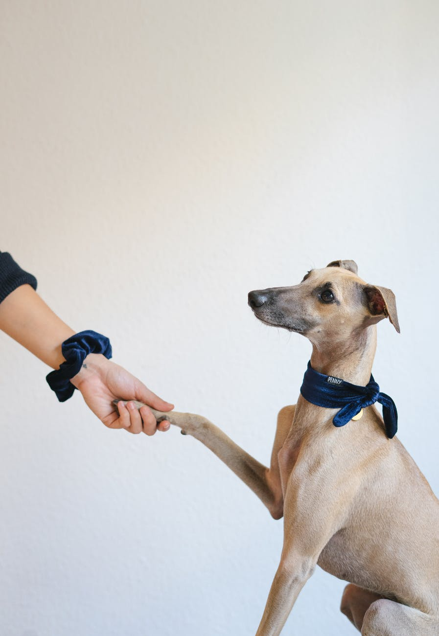 greyhound dog giving paw to owner