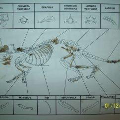 Mouse Skeletal Diagram Electrical Wiring For Dummies Skeleton Owl Pellet