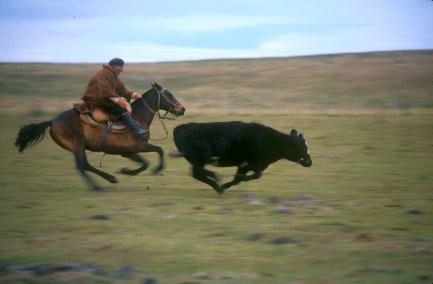 Uruguay, Paysandu, estancia La Calerea, Gaucho arreando el ganado