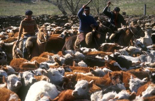 Uruguay, Paysandu, estancia La Calerea, Gauchos arreando el ganado